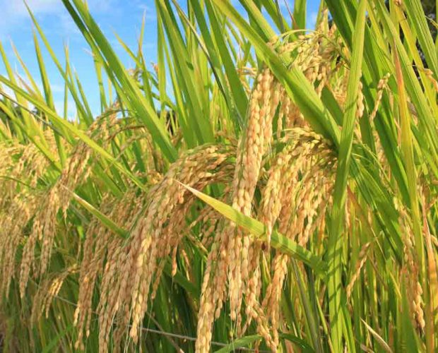 [:en]Aiyama - A secret brewery rice for forty years[:zh]愛山-40年間不外傳酒米,阪神地震後解禁[:]