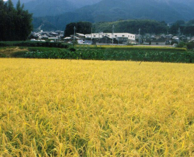 [:zh]雄町 - 酒米之祖[:en]Omachi - The Roots of Brewer's Rice[:]